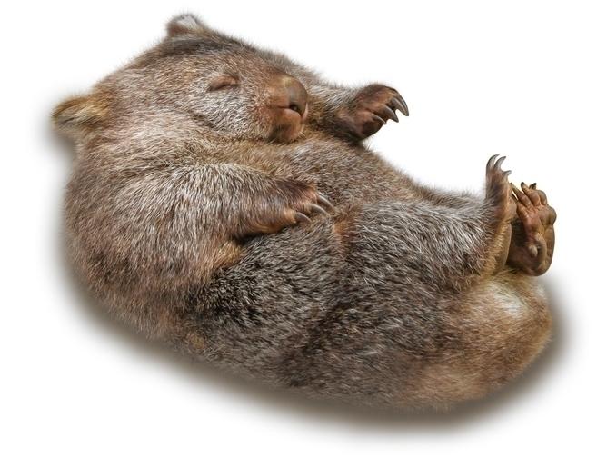 wombat-image-20160308-22123-14alc8i.jpg