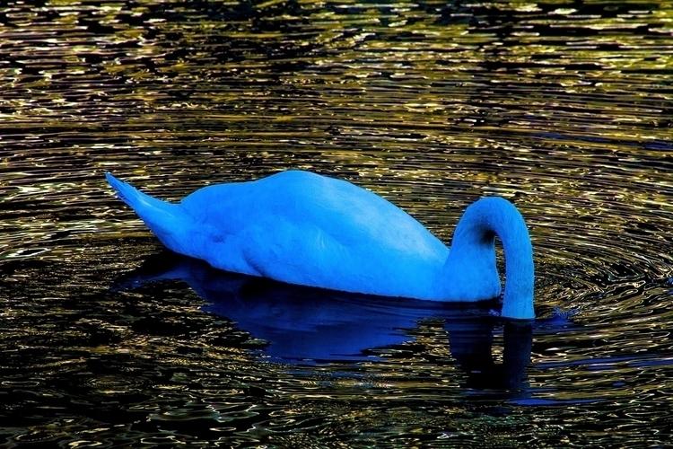 _MG_0079 - Blue Headless Swan - smaller.jpg
