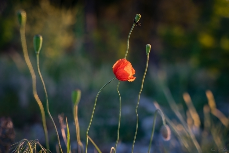 Wild Poppies 1 - by Ian Riddler - 1920