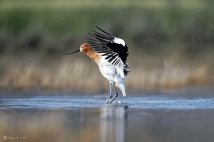 MelyssaStMichael_AudubonTop100_Avocet_BathingWingShake.png