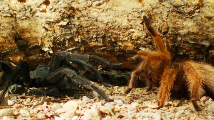 Watch tarantulas dance mating r - bonniegrrl | ello