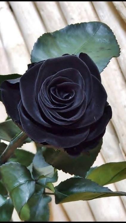 Black rose! - marcosgazzana | ello
