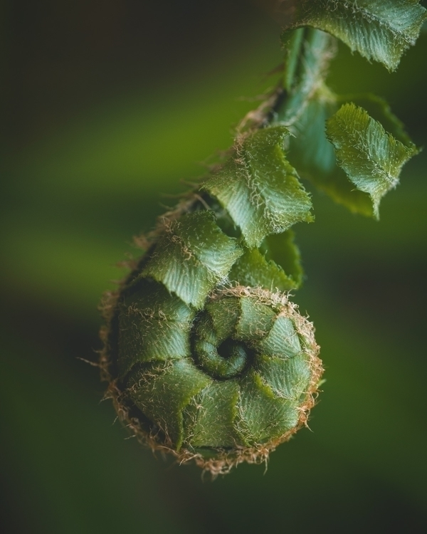 Ferndrop fern fiddlehead spiral - mylas | ello