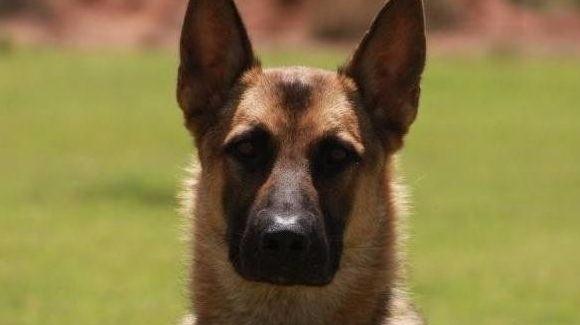 Check link information Police K - policek9dogsforsale | ello