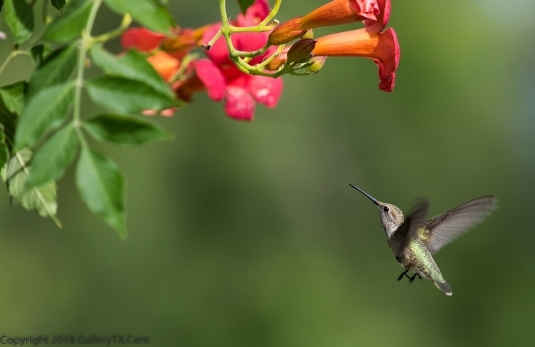 Broad Tailed Hummer ( Central T - gallerytx | ello