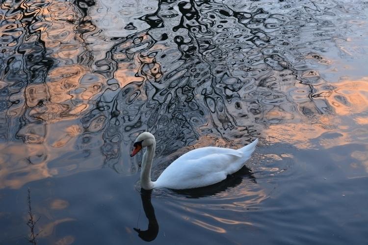 Swan lake. - lentedb | ello