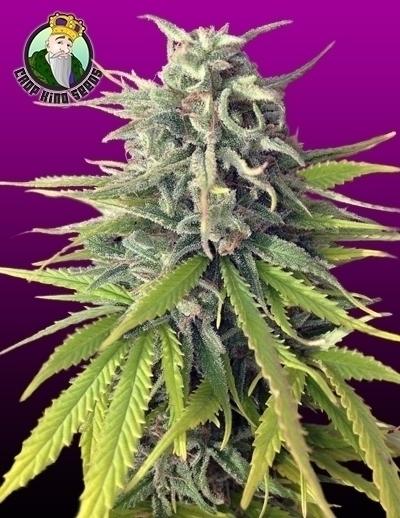 Strain Durban Poison sativa-dom - cropkingseeds | ello