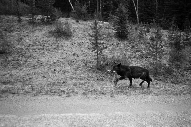 wolf assignment British Colombi - robincerutti   ello