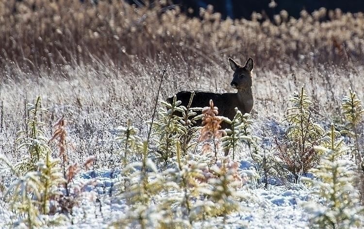Deer sunshine/#rådyr solskin 16 - jan_sahl | ello