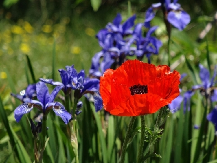 Stand Red Poppy Patch Irises, p - jmcampbell | ello