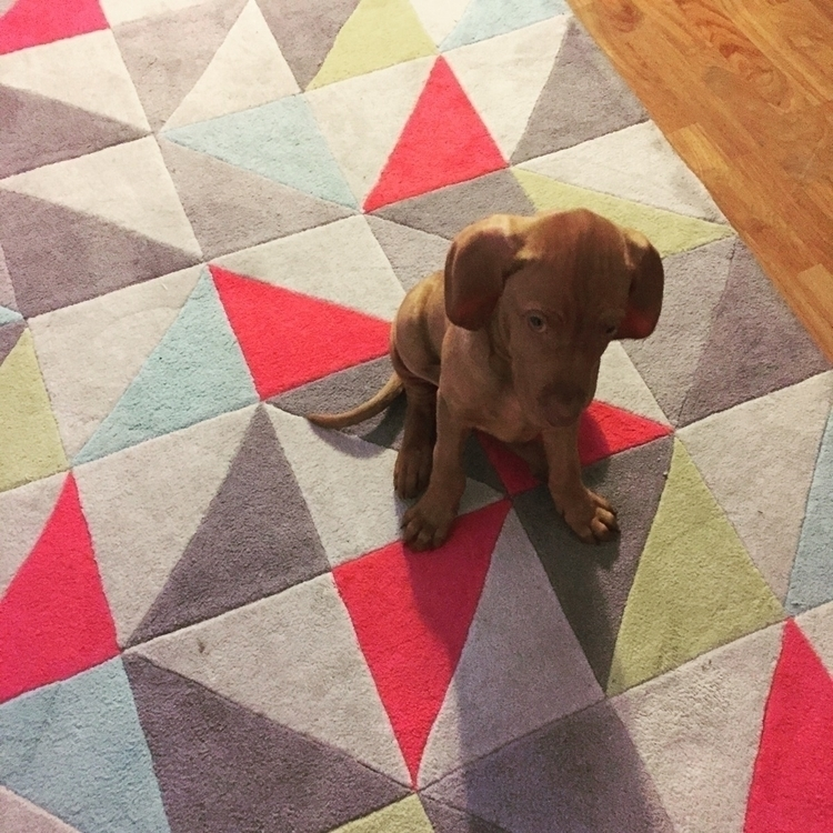 Introducing Argo - vizsla, puppy - jodymattioli | ello