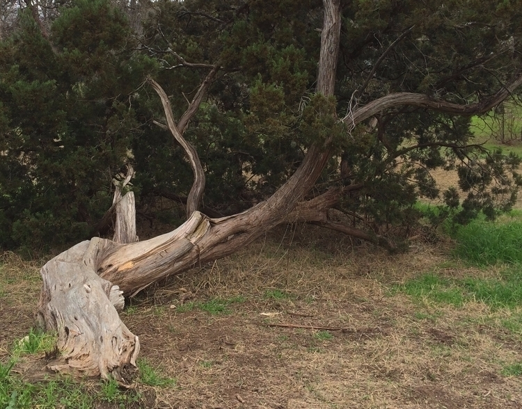 Fallen tree, rooted, continues  - dave63 | ello