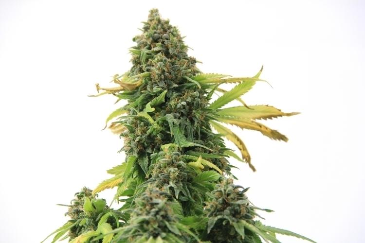 Strain White Cookies - cannabis - cropkingseeds | ello