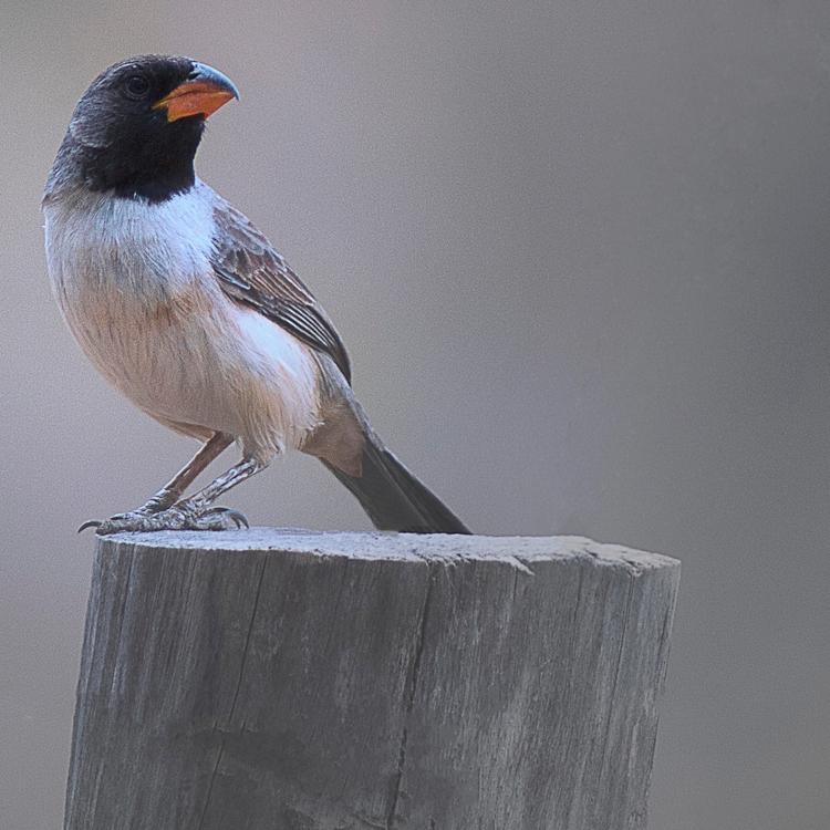 Pássaros da Caatinga - bico-de - paulobrito_ | ello
