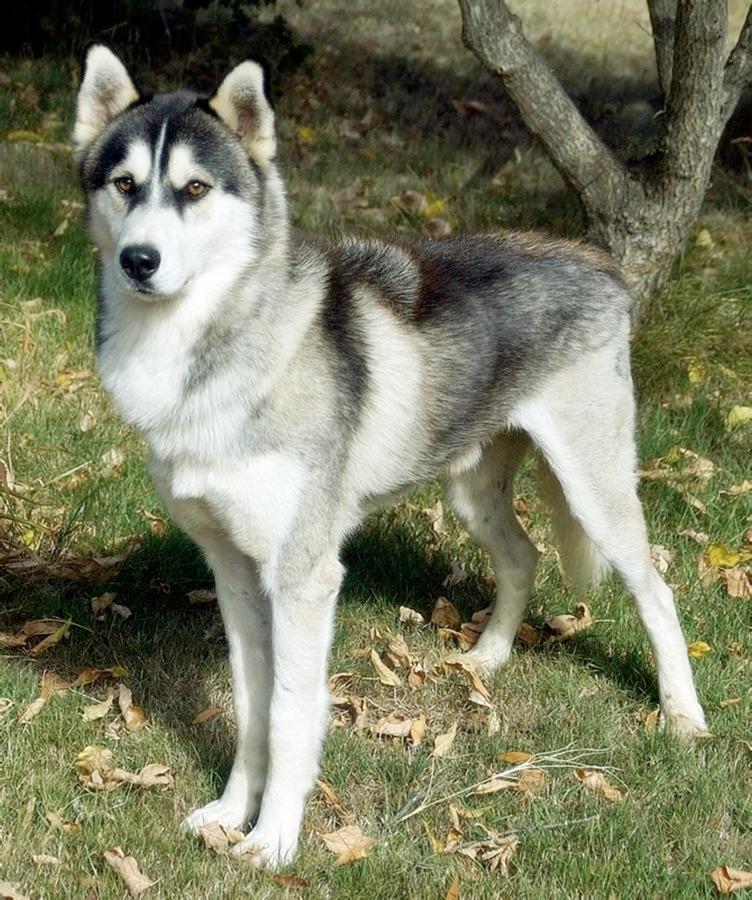 Adopt Eddard - male siberian hu - red_wolf | ello