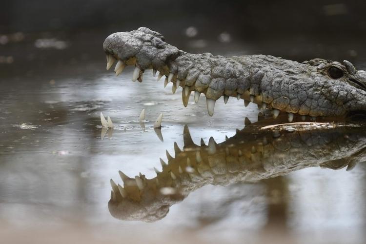 crocodile (Crocodylidae) pictur - ellonews | ello