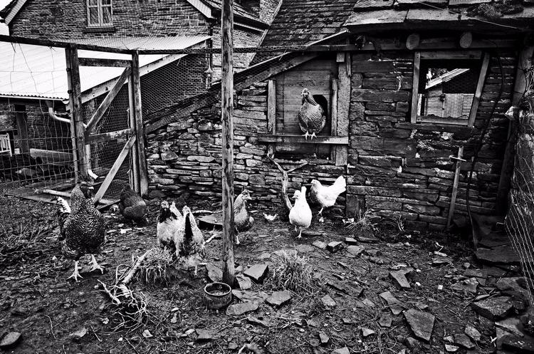 Pecking Order - hen house Hay B - jasmac | ello