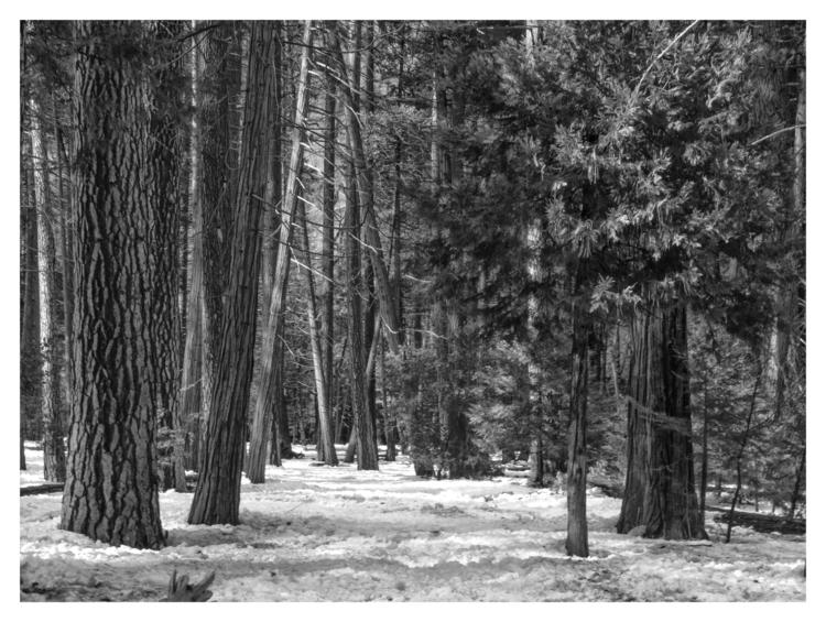 Trees, Yosemite Valley, CA - guillermoalvarez   ello