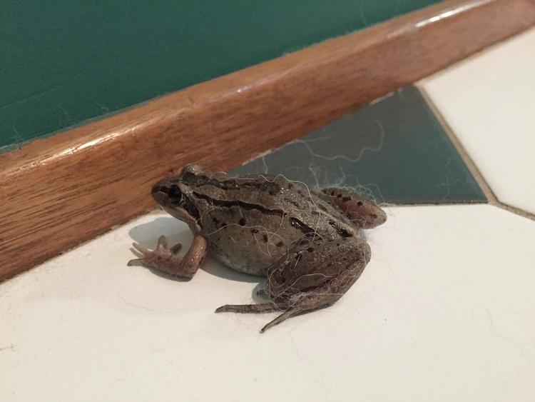 Striped marsh frog (Limnodynast - red_wolf   ello