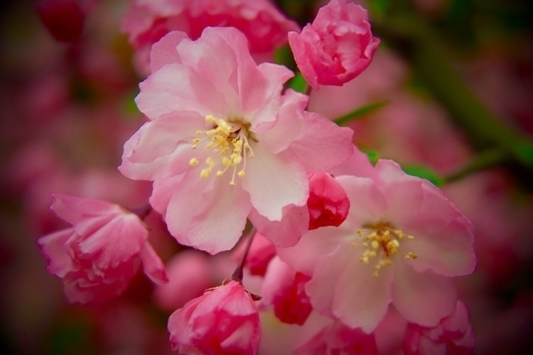 cherryblossom, spring - mamimumemami | ello