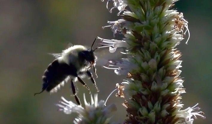 Bumblebees endangered-species l - bonniegrrl | ello