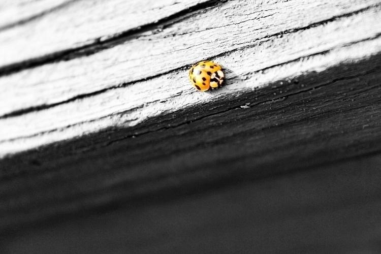 Ladybug - insect, nature, blackandwhitephtography - saywhahnah | ello