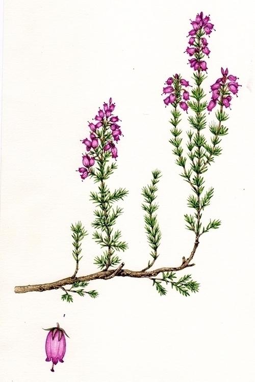 cinerea - blog, stepbystep, botanicalillustration - lizzieharperillustrator | ello
