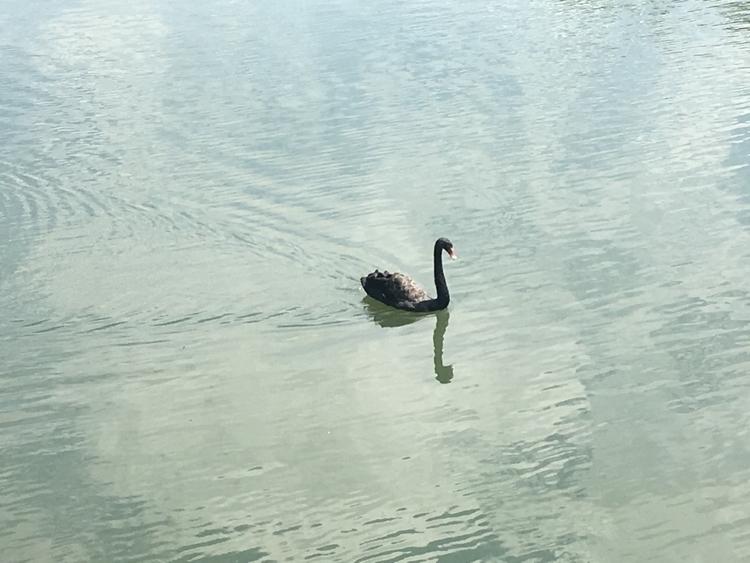 Cisne desliza pelas águas lago  - antoniomg | ello