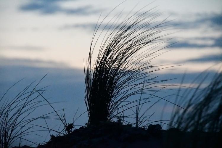 Ammophila arenaria. sunset vers - rwhfink | ello