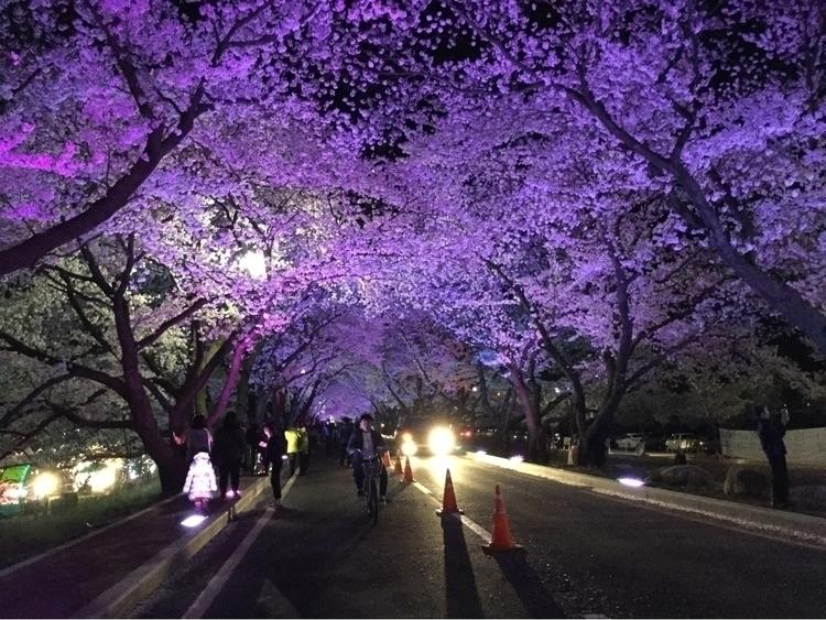 Cherry blossoms Gyeongju, Korea - allie1213 | ello