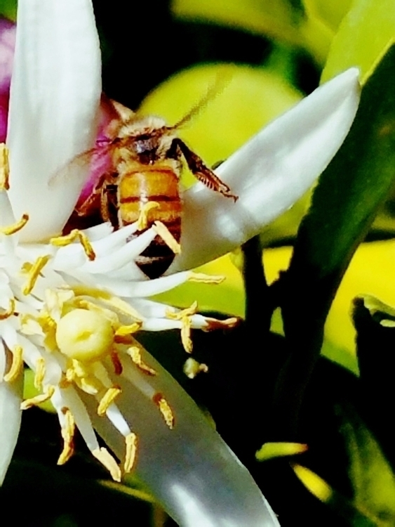 Photo Samsung S7 - bee, flower - sensualromantic | ello