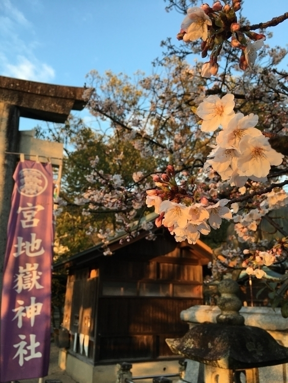 夕陽を浴びる桜 Cherry blossoms shone s - angora_onion   ello