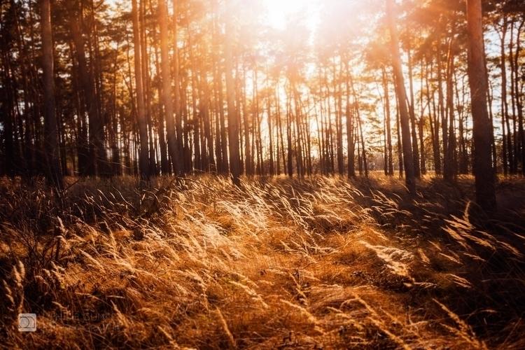 golden fields pineforest south  - phigun   ello