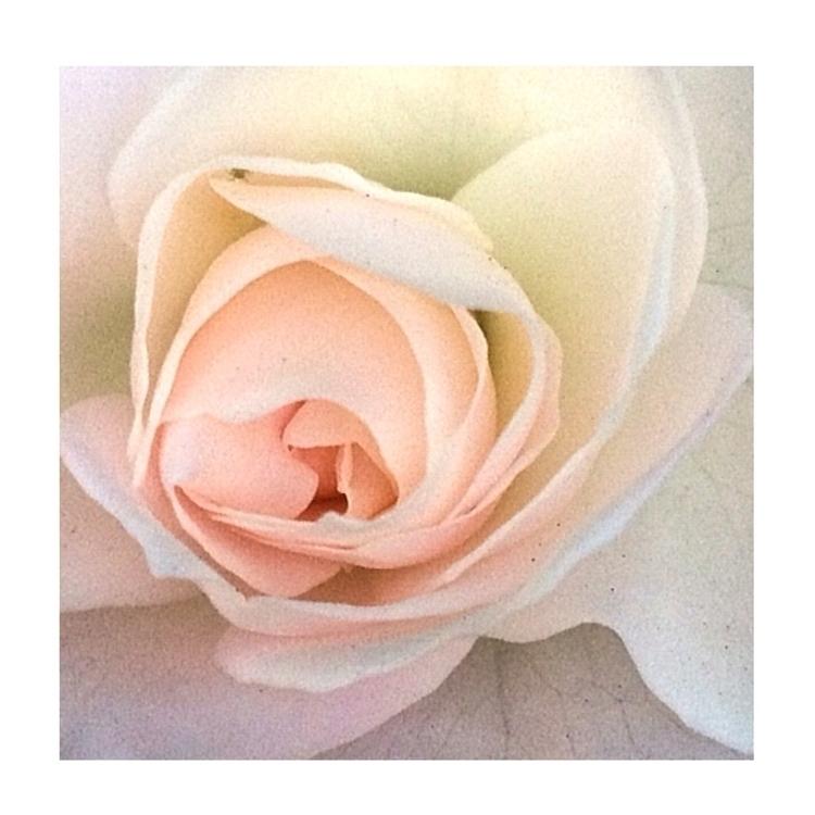 Rose Flower - treasurestephanie   ello