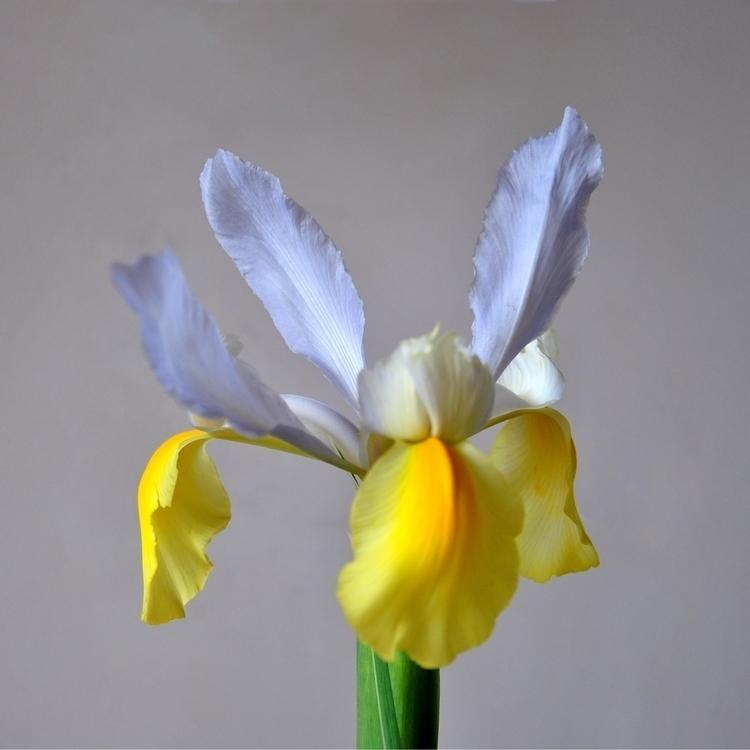 Spring IRIS - flower, France - davidlavaysse | ello