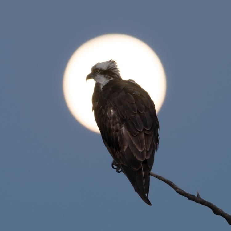 Eaglet Moonlight intention pict - rickschwartz | ello