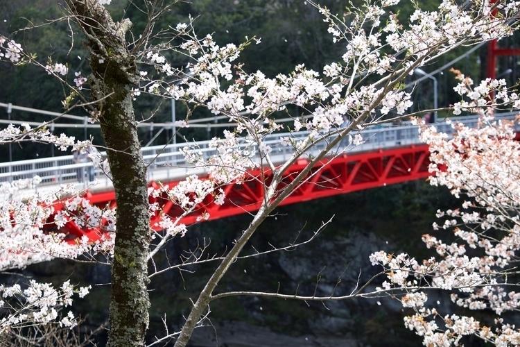 Sakura petals breeze - Japan, Photography - steverappmusic | ello