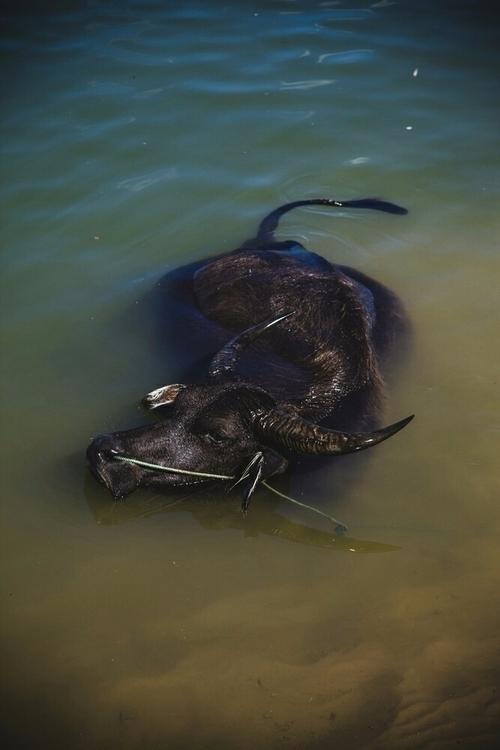 buffalo - iamjohannes | ello
