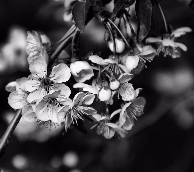 spring flowers black white - blackandwhite - cornelgin | ello