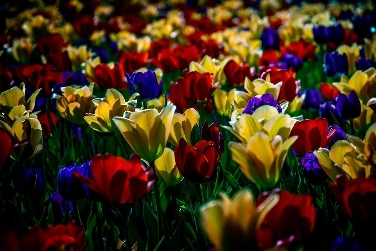 Profusion - tulips, flower, photography - doc | ello