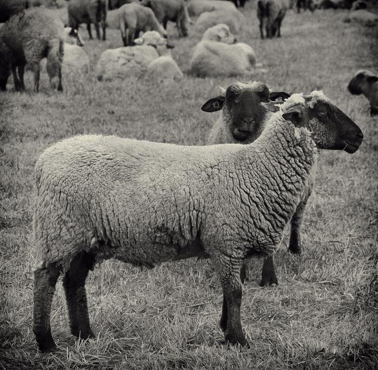 Sheep - nature, naturephotography - klausheeskens | ello