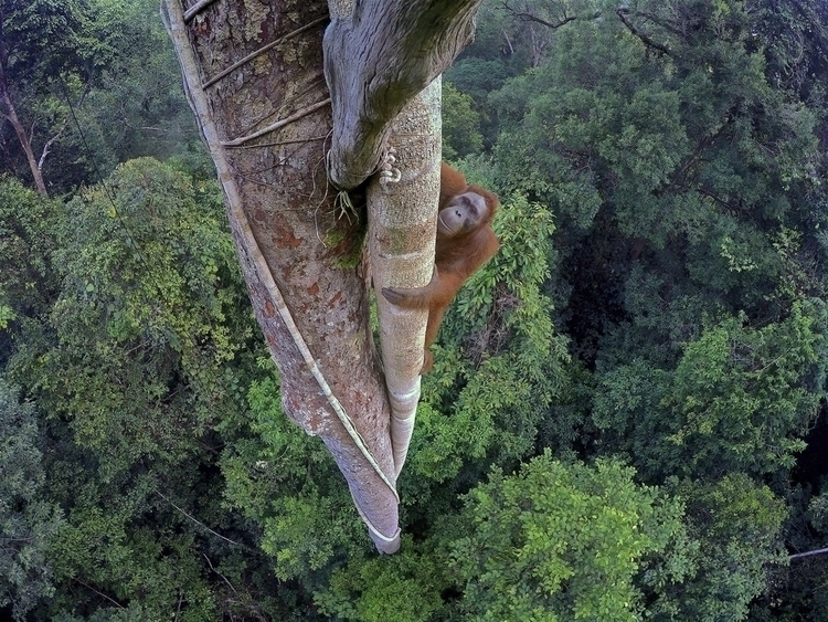 Tim image Bornean orangutan cli - decorkiki | ello