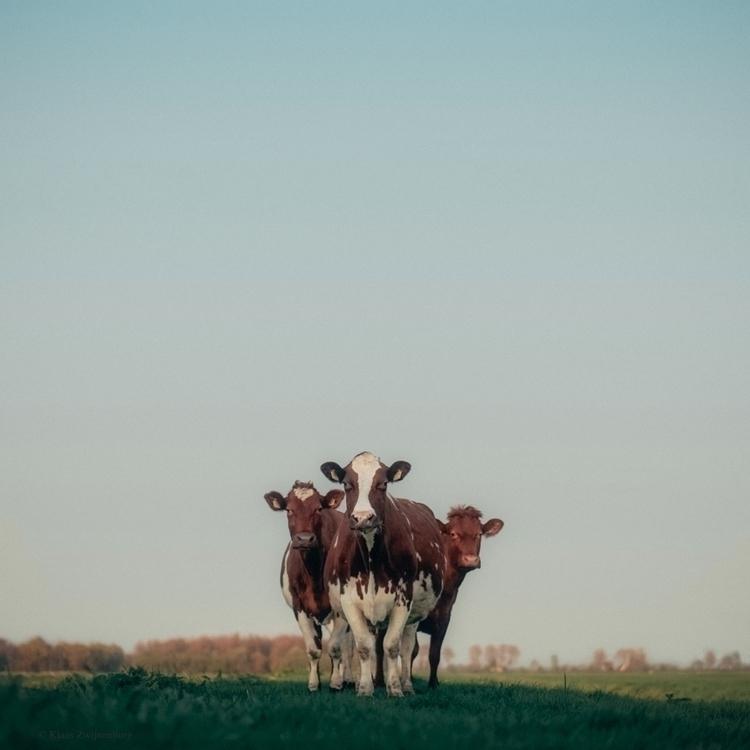 Good 2017 - animals, color, cow - klaasphoto | ello