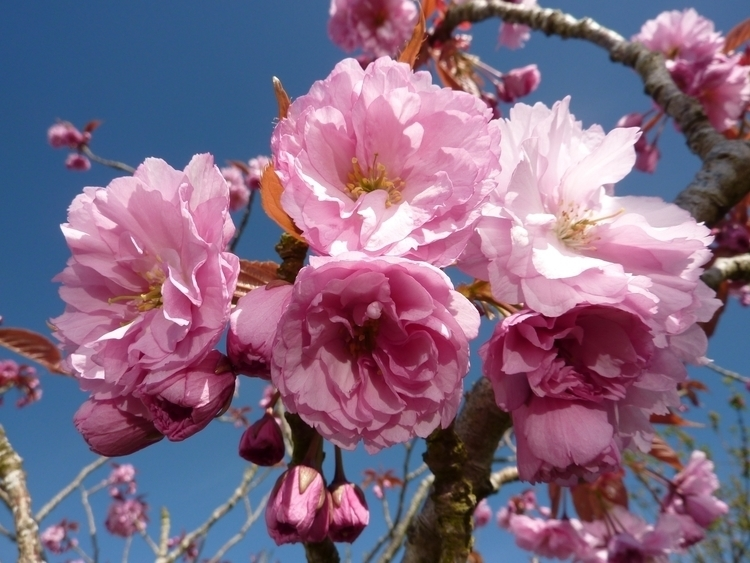 Flowering Cherry Blossom - blossom - firehorsetextiles | ello