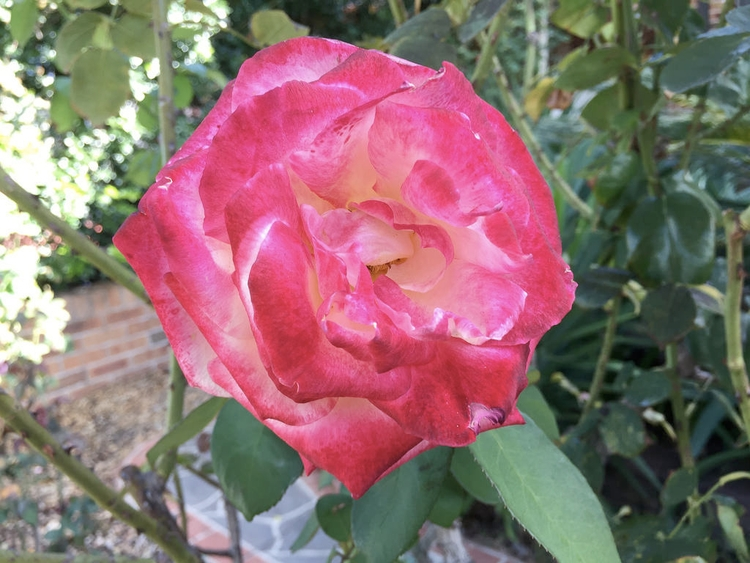 Pink Rose / Red Wolf - photography - red_wolf | ello