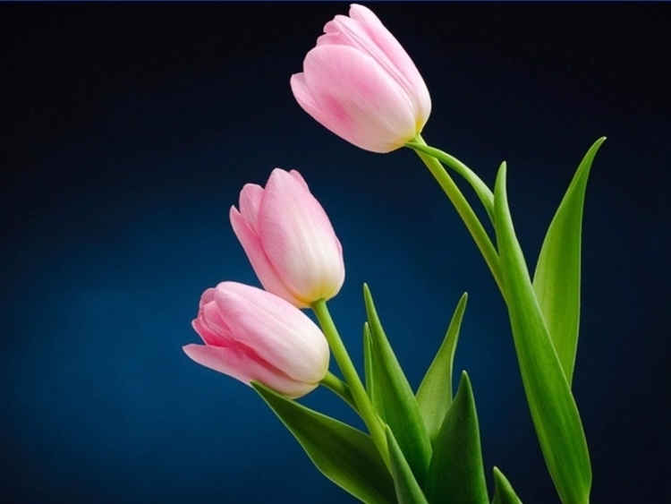 Daily Tulip – International New - robert-mcangus | ello