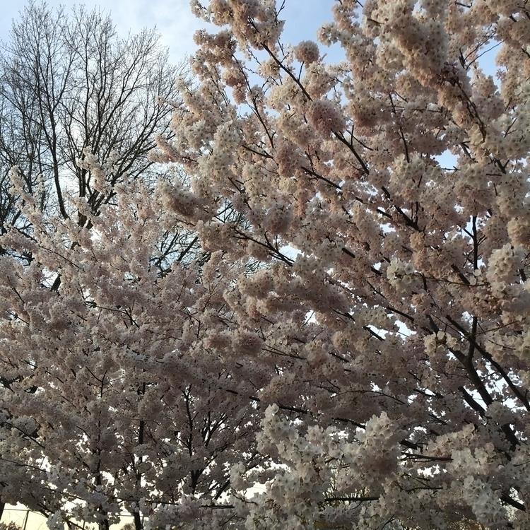 Cherry Blossom day - toronto, westqueenwest - canonblanc   ello
