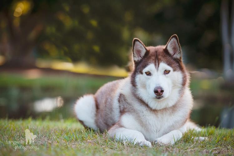 Adopt Akira - female siberian h - red_wolf | ello