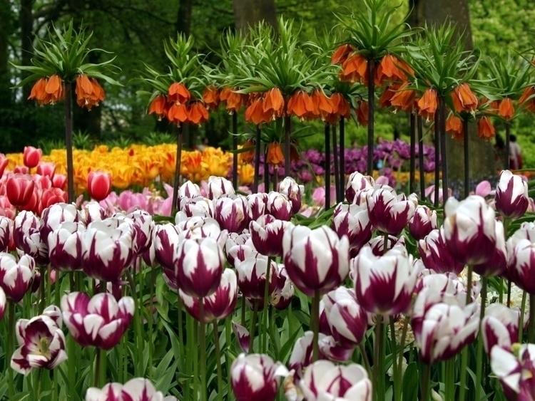 Daily Tulip – International New - robert-mcangus   ello