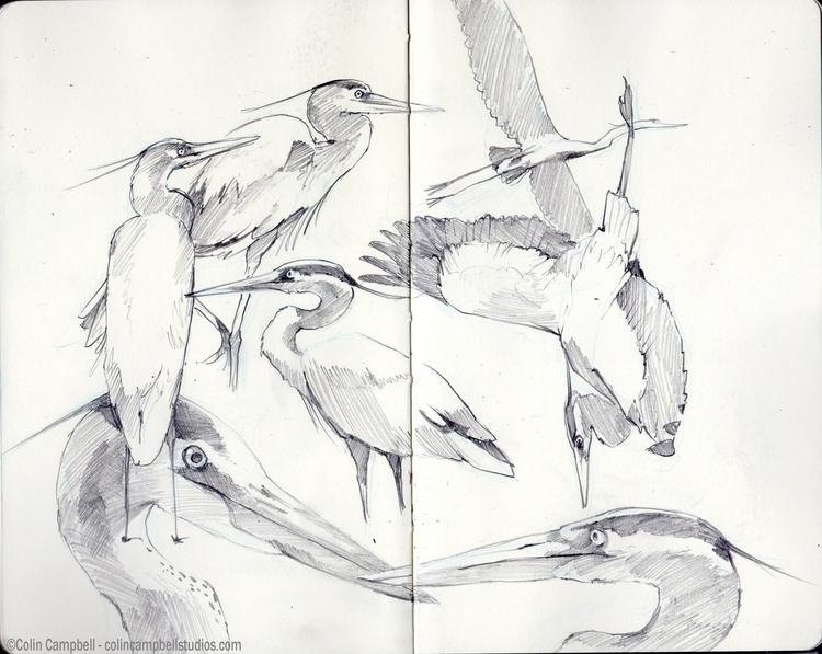 Great Blue Heron studies - sketch - ccampbellart | ello